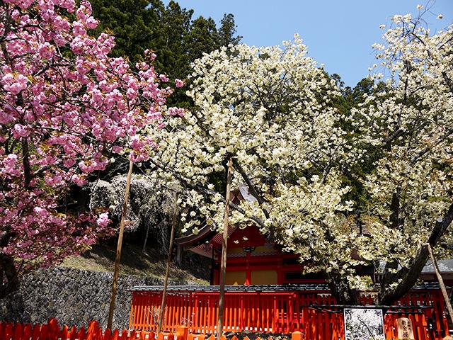 金櫻神社の鬱金桜