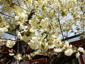 金櫻神社3