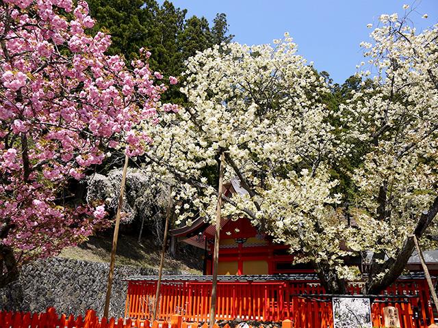 2019年 金櫻神社 春季例大祭・さくら祭り